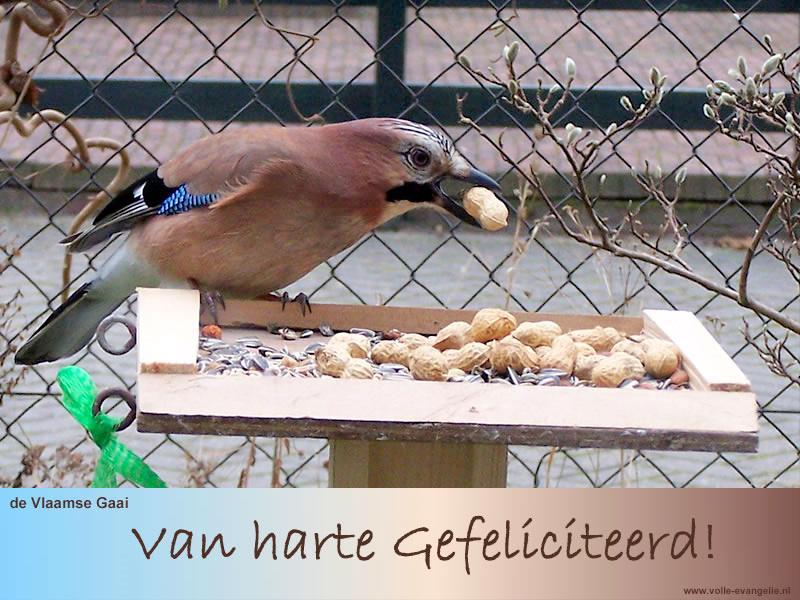 Gefeliciteerd -Vlaamse Gaai-