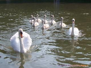 Zeven jonge zwanen
