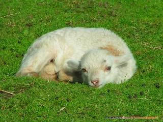 Jong lammetje liggend in het gras