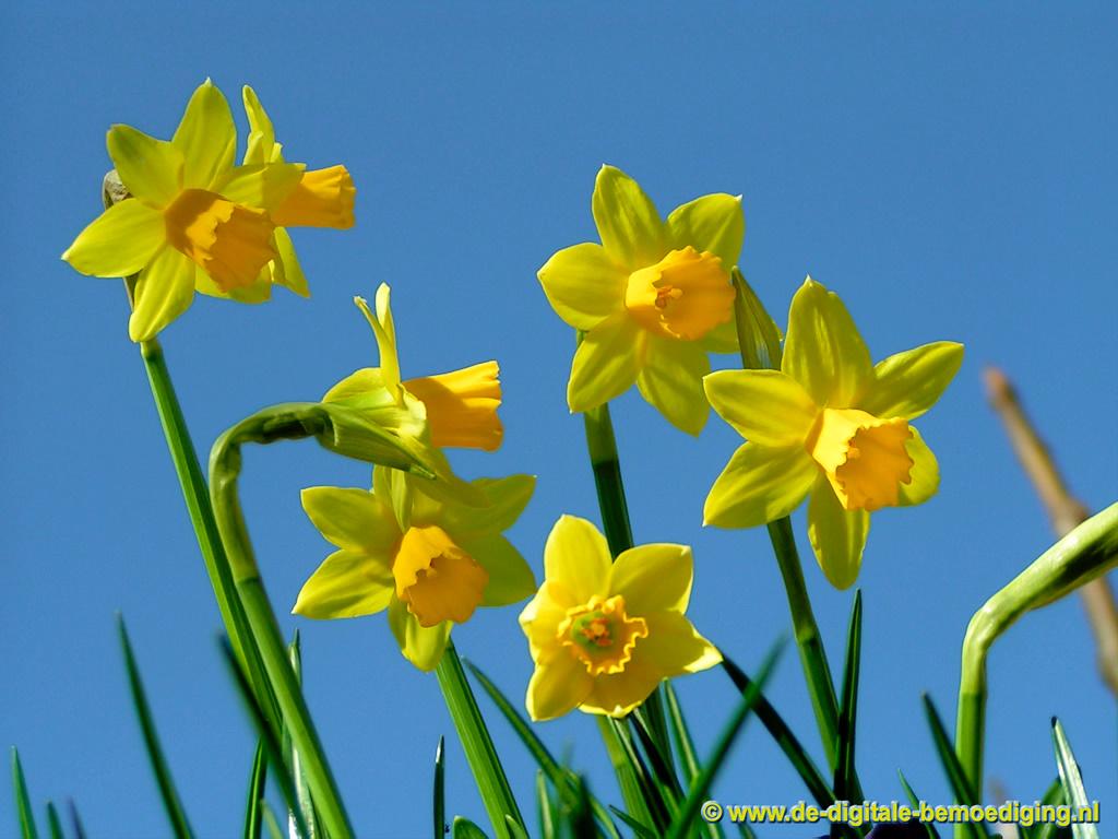 Gele narcissen tegen een blauwe lucht