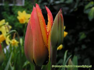 Rode tulp met regendruppels