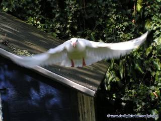 Aanvliegende witte duif
