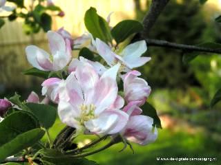 Wit-roze bloesem