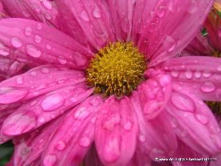 Roze bloem met regendruppels