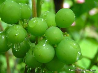 Groene druiventros