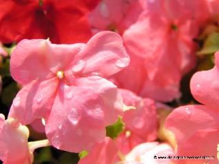 Roze Vleitig Liesje