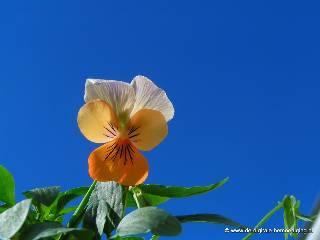 Viooltje met blauwe lucht