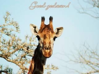 Goed gedaan Giraffe
