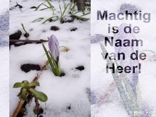 Crocus in de Sneeuw