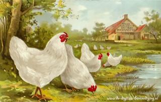 Kippenboerderij