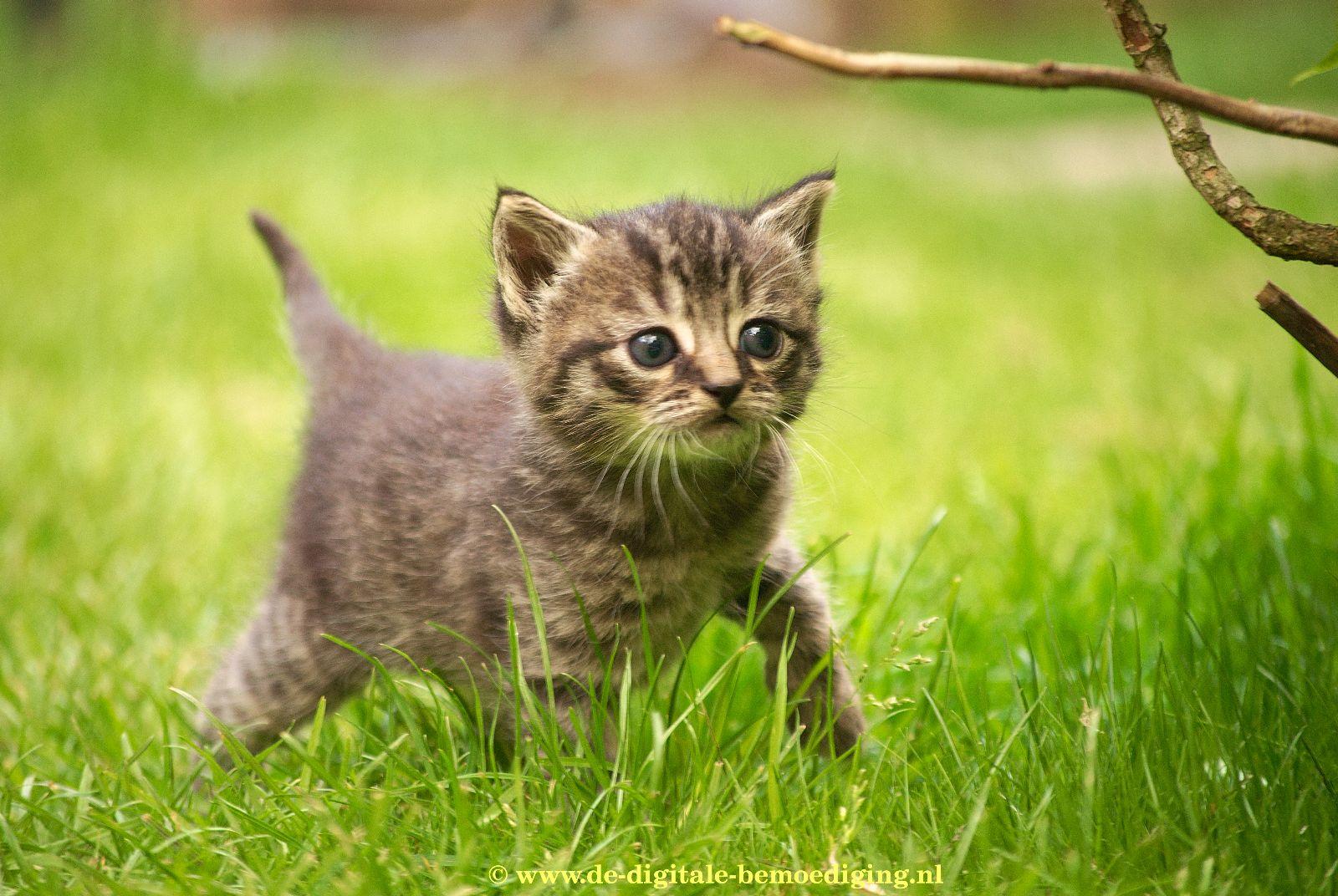 Tabby Kitten in Gras