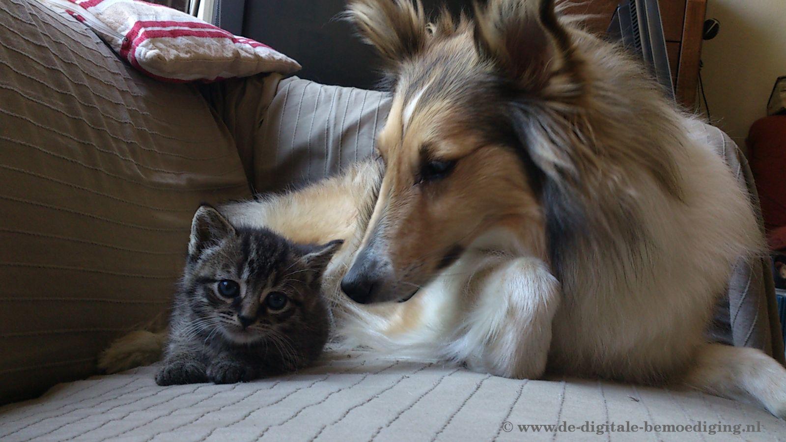 Tabby Kitten met Sheltie Hond