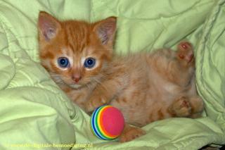 Rood Kitten