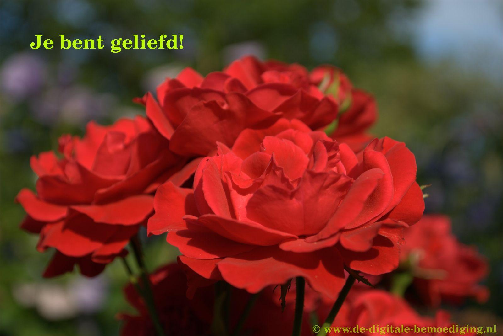 Je bent geliefd! Rode rozen