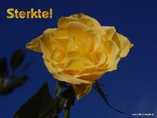 Sterkte --Gele Roos-