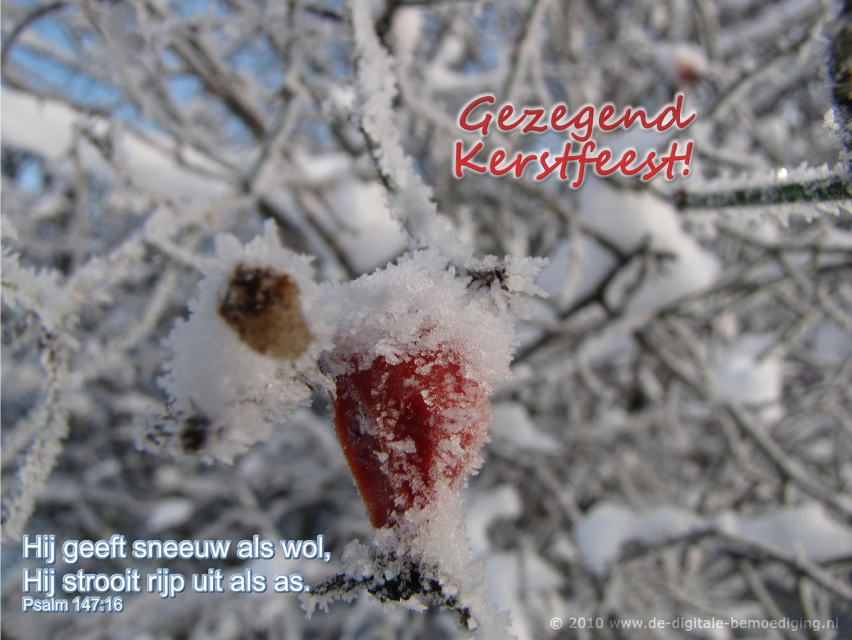 Hij geeft sneeuw als wol, Hij strooit rijp uit als as. Rozenbottel in de rijp, sneeuw.
